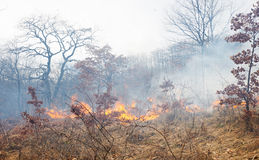 Fire in oak forest Royalty Free Stock Image