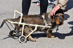Disattivi il cane in una sedia a rotelle sulla via Immagini Stock