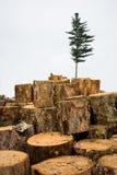 Disboscamento. Ecologia. Abete. fotografie stock