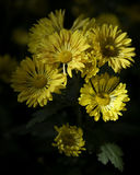 Disbud mums. Collection, cultivated, from a garden stock images