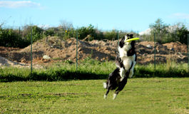 Disc dog Stock Images