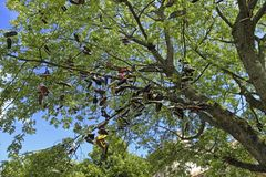 Discarded Shoes. Hanging from a tree on College Green in Bristol, UK stock images