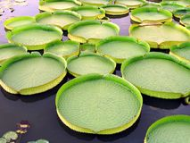 Dischi dell'acqua della Victoria immagine stock