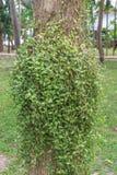 Dischidia ruscifolia lub milion serc rośliien na drzewie obrazy stock