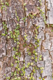Dischidia ruscifolia lub milion serc rośliien na drzewie zdjęcia royalty free
