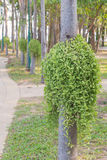 Dischidia ruscifolia or million hearts plant on tree royalty free stock image