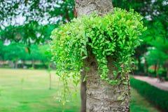 Dischidianummularia Variegata Royalty-vrije Stock Foto's