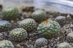 Disciformis de Strombocactus de cactus, jeunes usines dans un pot, fond trouble images libres de droits