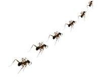 Disciplina de la hormiga Imagen de archivo libre de regalías