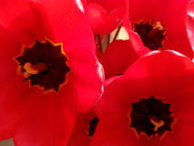 Disclosed buds of red tulips close-up Royalty Free Stock Photography