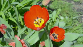 Disclosed red tulips stock video footage