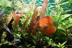 Disco arancio luminoso del pesce fra le alghe verdi sotto acqua fotografia stock libera da diritti