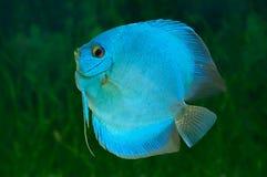 Disco azul en acuario Fotografía de archivo