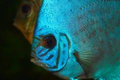 Disco azul en acuario Imagenes de archivo