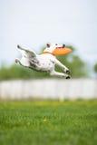 Disco de cogida del disco volador de Jack Russell Terrier en salto Foto de archivo libre de regalías