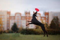 Disco de cogida del perro en salto Imagen de archivo