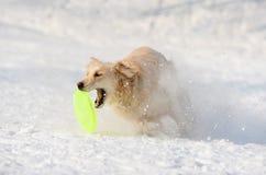 Disco de cogida del perro perdiguero Imagen de archivo