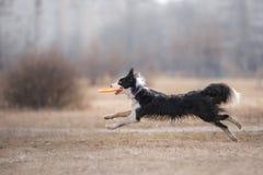 Disco de cogida del vuelo del perro Imágenes de archivo libres de regalías