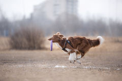 Disco de cogida del vuelo del perro Foto de archivo
