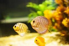 Disco de Symphysodon dos peixes do Pompadour no aquário fotos de stock