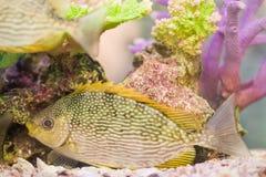 Disco de Symphysodon em um aquário fotografia de stock royalty free