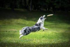 Disco de travamento do fliyng do cão do Frisbee Fotos de Stock