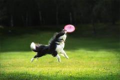 Disco de travamento do fliyng do cão do Frisbee Fotos de Stock Royalty Free