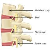 Disco della spina dorsale ed illustrazione medica di vettore di anatomia vertebrale del corpo su fondo bianco illustrazione di stock