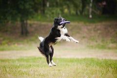 Disco di cattura del cane del Frisbee Fotografia Stock