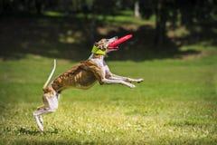 Disco di cattura del cane del Frisbee immagine stock