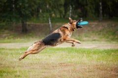 Disco di cattura del cane pastore del Frisbee Immagini Stock Libere da Diritti