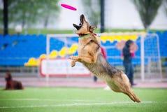 Cattura del pastore tedesco di frisbee Fotografie Stock Libere da Diritti