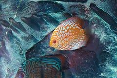 Disco dos peixes do aquário imagem de stock