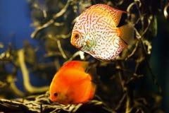 Disco Symphysodon, cichlidaes multi-coloridas que nadam no aquário foto de stock royalty free
