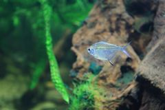 Disco tetra Foto de Stock Royalty Free