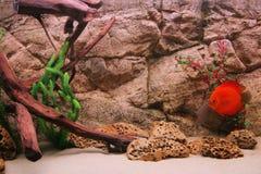 Disco tropical de los pescados (Symphysodon) Imagen de archivo libre de regalías