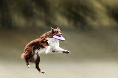 Disco volador de cogida del perro del border collie Fotografía de archivo