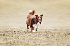 Disco volador de cogida del perro del border collie Fotos de archivo libres de regalías