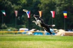 Disco volador de cogida del perro del border collie en salto Fotografía de archivo