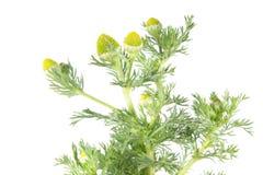 Discoidea de Pineappleweed ou de Matricaria d'isolement sur le fond blanc Plante médicinale Photos stock