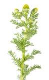 Discoidea di Matricaria o di Pineappleweed isolato su fondo bianco Pianta medicinale Immagini Stock Libere da Diritti