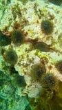 Discoli di Mar Nero su una pietra fotografia stock libera da diritti