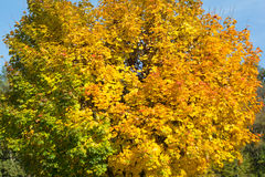 Discolored leaves on the trees Royalty Free Stock Photo