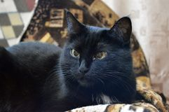 Discontented black cat. Portrait of a beautiful black cat close-up, domestic animal, discontented black cat royalty free stock image