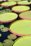 Discos del agua de Victoria   Fotos de archivo libres de regalías