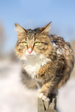 Discouraged young cat going on a fence in winter Royalty Free Stock Photos