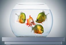 Discourse, goldfish and piranhas Royalty Free Stock Images