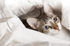 Discovered cat. Tender cat hidden in white clothes royalty free stock photo