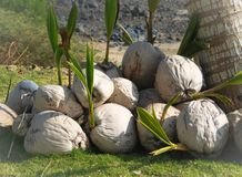 Decaying Coconuts under a tree royalty free stock image
