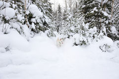 Discoverer. White dog discover wintry taiga forest Stock Images
